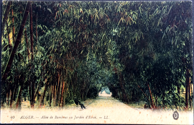 Project Postcard January 1924 - Algiers Bamboo avenue test garden